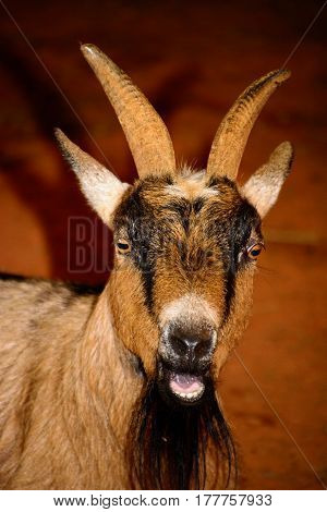 Brown, Black And White Goat Close-up. Goat Has Vivid, Menacing Eyes. Mouth Is Open With Teeth Showin