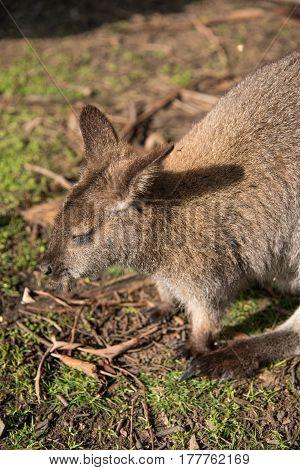 Closeup of Australian wallaby wildlife animal in Australia