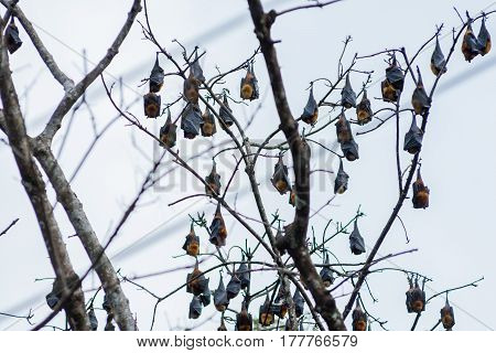 A Tree Full Of Roosting Flying Foxes