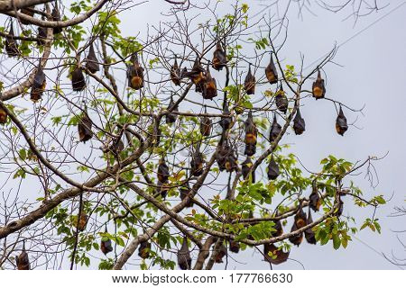 A tree full of roosting flying foxes aka fruit bats during the day time with forest jungle of the Philippines in the background.
