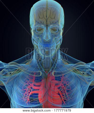 Heart xray, human anatomy. Medical scan. 3D body. 3d illustration