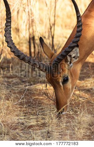 Portrait of antelope. Head of impala. Samburu, Kenya.
