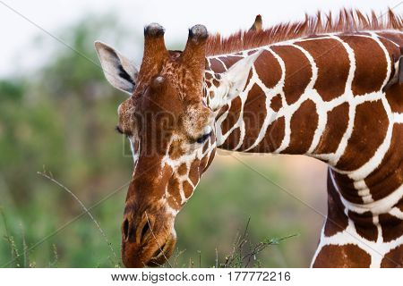 Head of reticulated giraffe. Samburu, Kenya. Africa