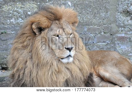 The face portrait of a calm lion. The most dangerous and mighty predator of the world.