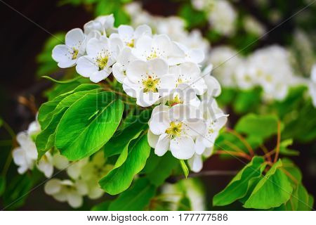 Blossoming tree branch with white flowers and bright green leaves. Tree in bloom. Spring flowering. Shallow depth of field. Selective focus.