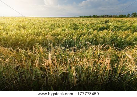 wheat field / wheat field on the background cornfield Ukraine