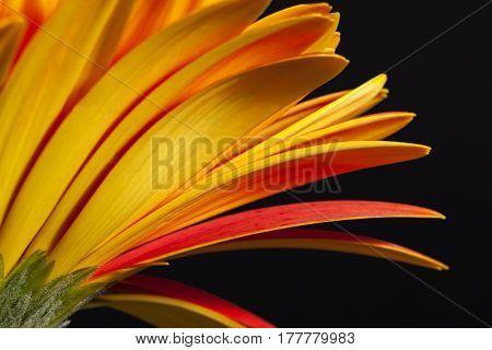 Single flower of red gerbera on black backgroundpetals close up
