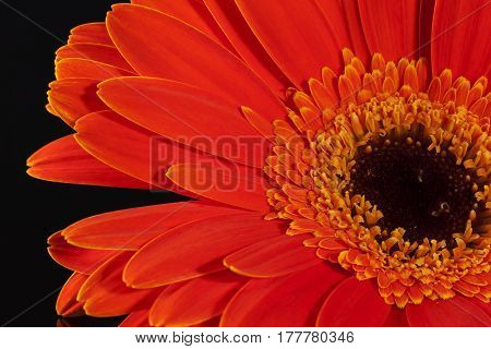 Single flower of red gerbera on black background close up