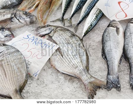 Diplodus Sargus white seabream bream blacktail mediterranean fish in italy