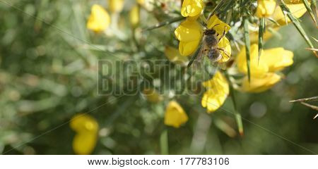 detail of a bee on top a calicatome flower in italy