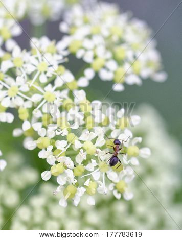 ant on top angelica flower in a meadow