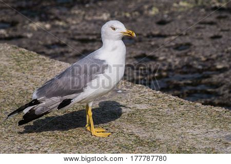 Larus Gull In A Summer Day