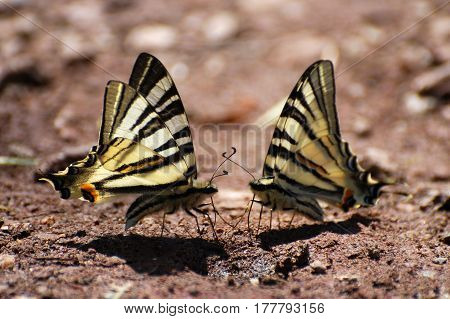 Couple Iphiclides podalirius on the ground. Couple of Scarce Swallowtail butterfly taking minerals from ground