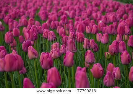 Bright tulips in a soft focus, spring flowers close-up in the garden. Bright rose red flowers
