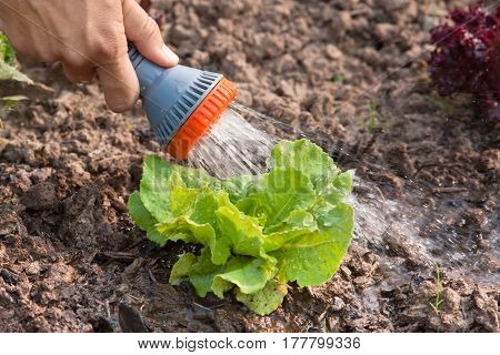 hand watering lettuce in the vegetable garden