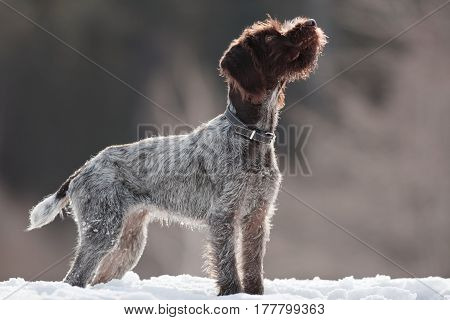 young hunting dog on winter blurred background