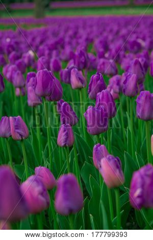 Bright tulips in a soft focus, spring flowers close-up in the garden. Bright violet flowers