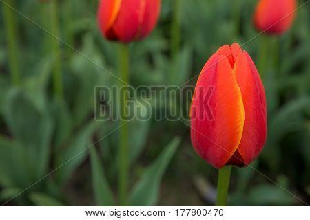 A bright red tulip flower background. Macro bokeh shot
