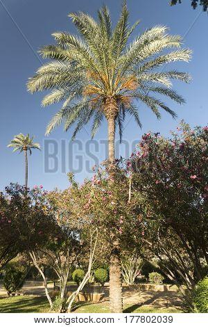 Sevilla (Andalucia Spain): palm trees in the park near the Alcazar