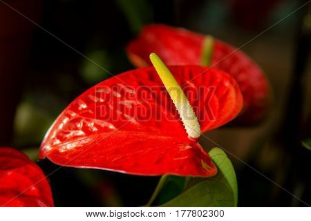 Beautiful Flower Room Red Anthurium Flowers