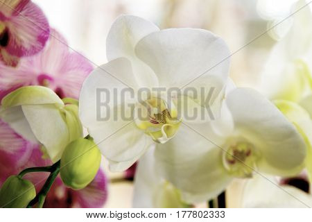 Beautiful Indoor Flower White Orchid With Yellow Center
