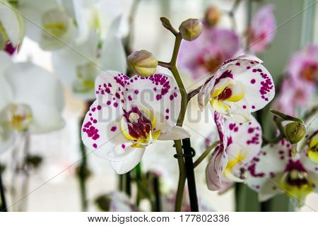 Beautiful Flower Room Flowering Spotted Orchid
