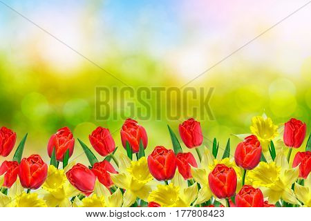 Bright and colorful spring flowers daffodils and tulips