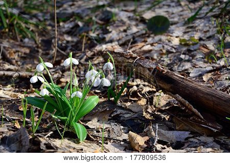 Snowdrops Galanthus plicatus first flowers in sunny spring forest