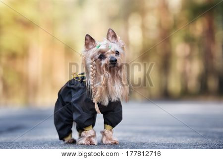 adorable yorkshire terrier dog in clothes posing outdoors