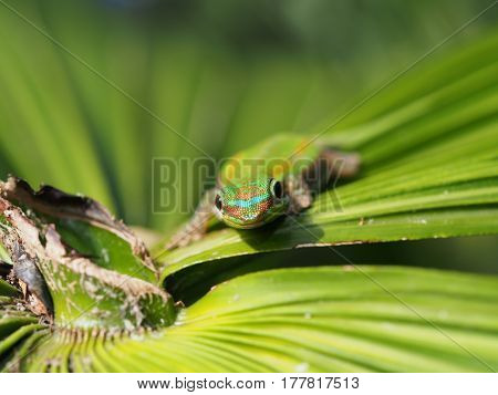 Close up of a gekko on a green palm tree leaf
