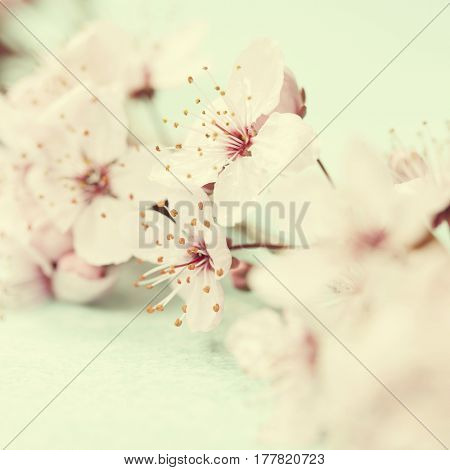 Bright pink cherry blossoms growing on a tree after the rain