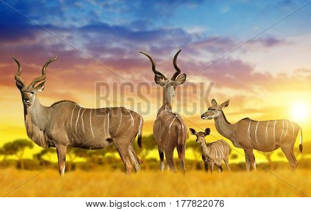Herd of Greater kudu on the savannah at sunset.