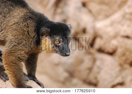 Amazing face of a sweet collared brown lemur.