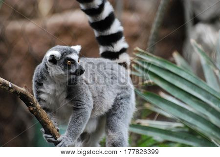 Really cute ring-tailed lemur holding on to a vine.