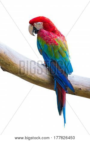 macow bird or red parot on isolated white background