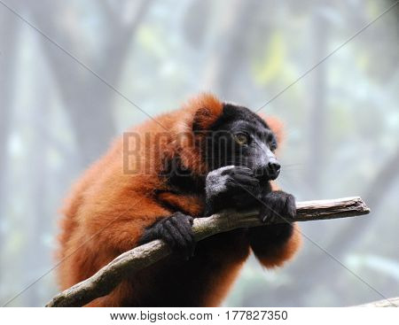 Adorable red ruffed lemur eating a snack on a tree branch.