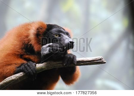 Amazing red ruffed lemur with long fangs sitting on a tree branch.