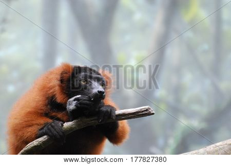 Cute red ruffed lemur with very sharp teeth eating in a tree.