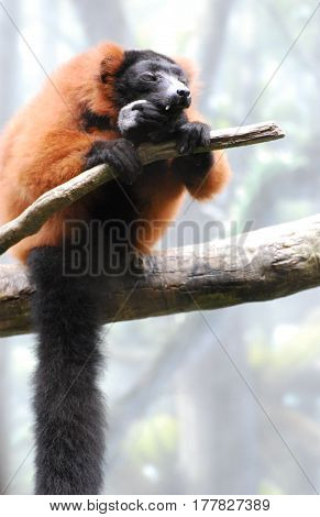Cute red ruffed lemur sitting on a dead tree branch.
