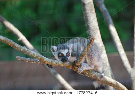 Really cute baby lemur sitting in a dead tree.