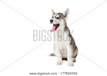 Siberian Husky puppy isolated on a white background. The dog sits and does not look at the camera