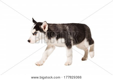 Siberian Husky puppy isolated on a white background. The dog stands on four legs and does not look at the camera