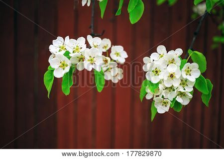 White flowers and green leaves on a tree branch against a brown background. Flowering branches of a tree. Blossoming tree branch. Shallow depth of field. Selective focus.