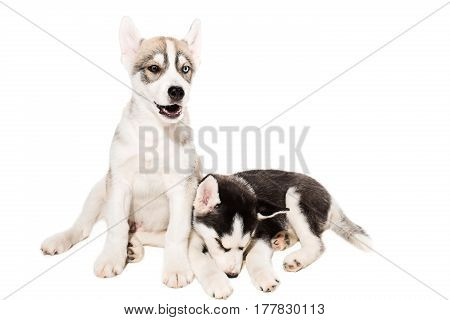 Cute little husky puppy isolated on white background. One puppy is asleep and the other is very active