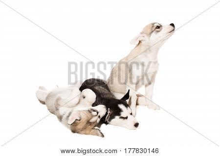 Cute little husky puppy isolated on white background. One puppy is very active, and the rest are tired and sleeping