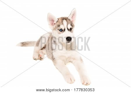 Cute little husky puppy isolated on white background. Little puppy lies