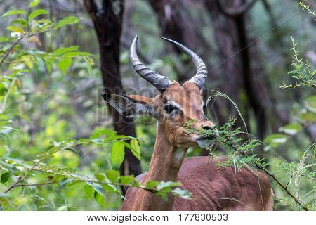 Impala eating the leaves from a branch