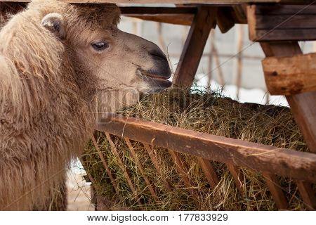 camel eats hay in the zoo , closeup