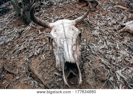 The Old cow skull outside in field.