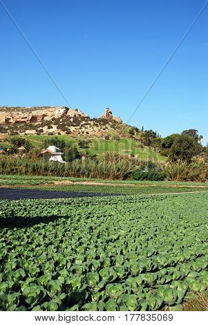 Cabbages and other vegetables growing in a field Torre del Mar Malaga Province Andalusia Spain Western Europe.